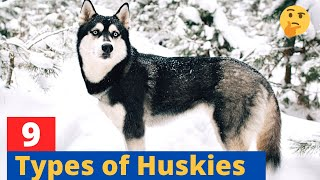 9 Types of Huskies: Which Husky would be suitable for you?