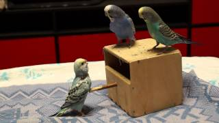 ручные волнистые попугаи sony alpha slt a77 sony dt 18 55mm f 3 5 5 6 sam ii sal 1855 2