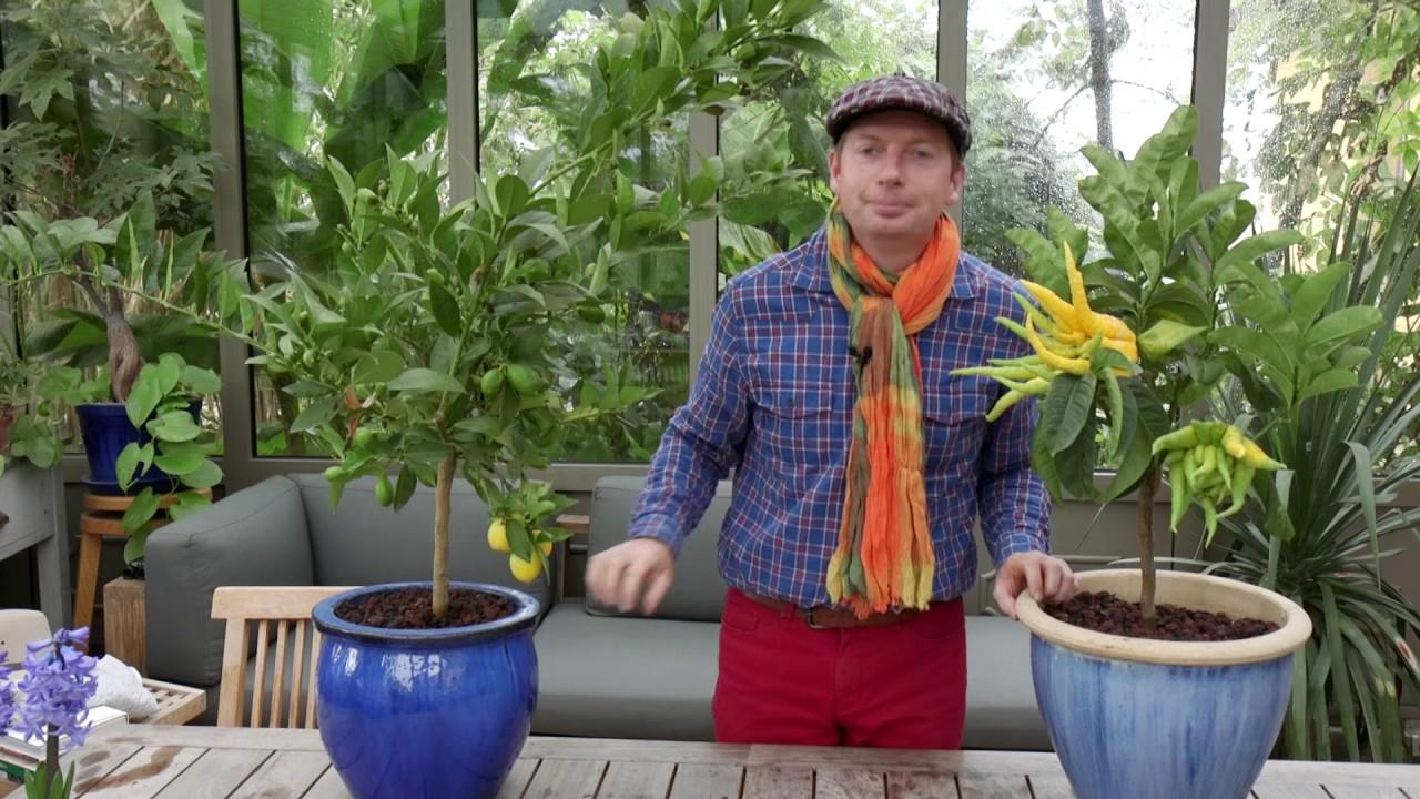 Comment Cultiver Un Citronnier En Pot comment faire fructifier les agrumes ?