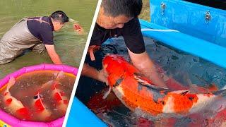 JUMBO KOI Shintaro Jumbo Koi Pond Harvest 2020