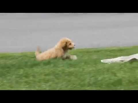 Bich Poo Puppy For Sale Stephen Stoltzfoos