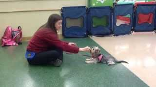 Petco Puppy 1 Class With Nellie The Yorkie