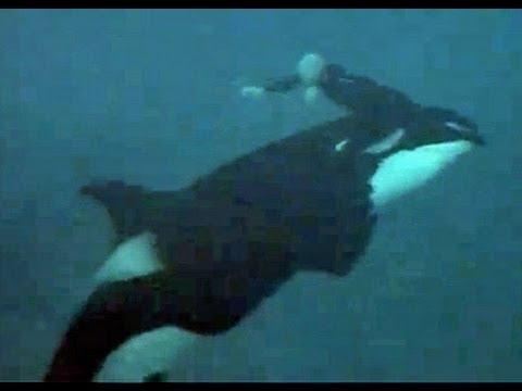 ballena u orca ataca a su entrenador al cual ve todos los