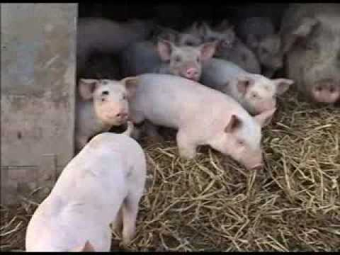 Abel & Cole Organic Pig Farms