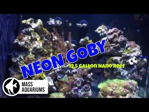 13.5 Gallon Fluval Evo Reef Tank: NEON GOBY
