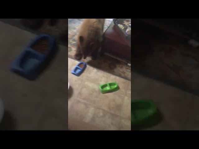 Bears Enjoy Cat Food in Living Room