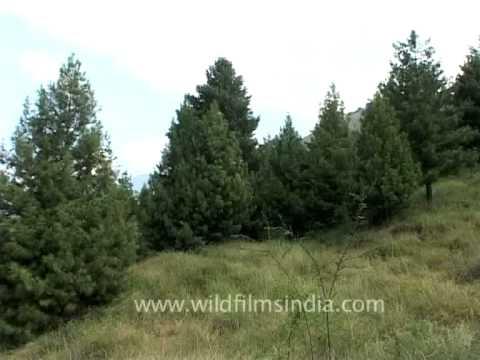 Spectacular pine wood forest of Pahalgam, Jammu and Kashmir