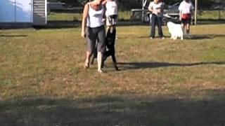 German Shepherd Obedience Training, Basic Advanced Training