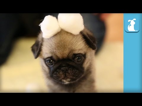 Wrinkly Pug Puppy In Cotton Ball Snow Land! - Puppy Love