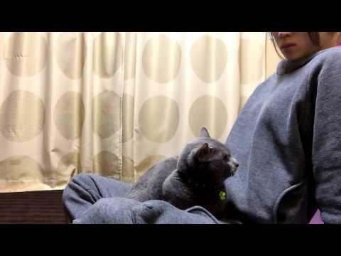飼い主のことが好きすぎる猫、ロシアンブルーのニャー助