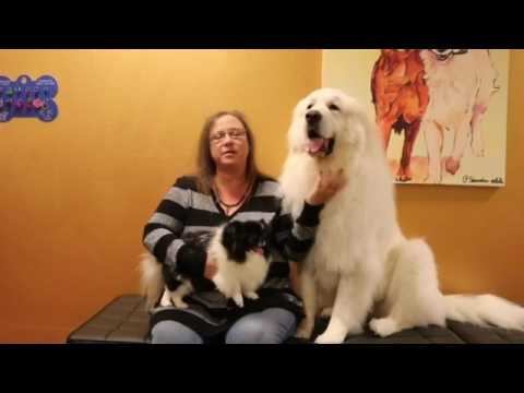 Great Pyrenees & Japanese Chin Dog Grooming at Sparta Dog Stylists in Plano TX