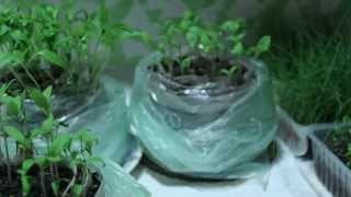 Новый способ посадки помидор, баклажан и перца на рассаду.(Новый способ посадки помидор, баклажан, перца и бергамота .Экспериментирую с посадкой рассады в