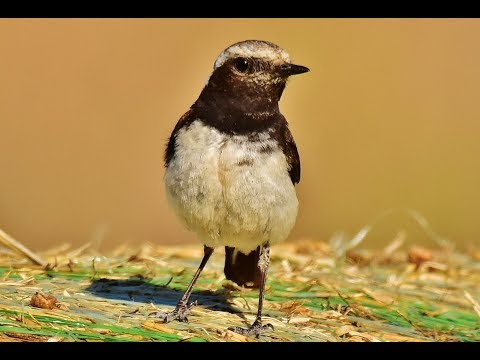 Cyprus wheatear (Oenanthe cypriaca) Σκαλιφούρτα - Endemic to Cyprus - Πετροκλής της Κύπρου. from YouTube · Duration:  57 seconds