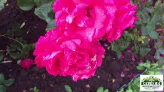 Канадские розы.  Продолжение