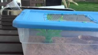 Blue Belly Lizard Care