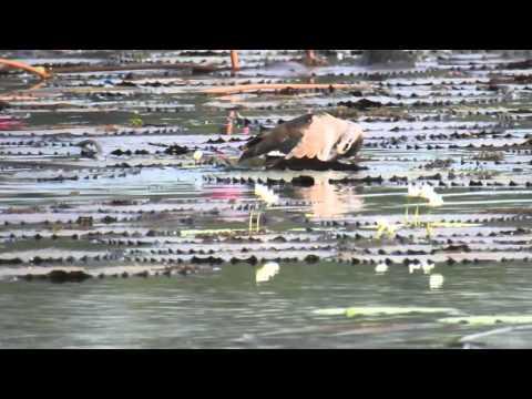 Nikon Coolpix P900 - Bird swimming in Pond -Videoshoot with Tripod 1080 HD