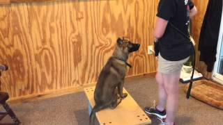 "German Shepherd Puppy ""jorge""19 Wks Obedience Protection Trained Dog For Sale"