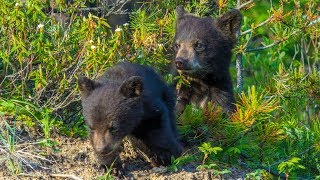 Bear Cubs Play Fighting Becomes Aggressive in Canada's Rockies