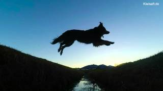 Slow Motion Frisbee Jumps - Australian Shepherd
