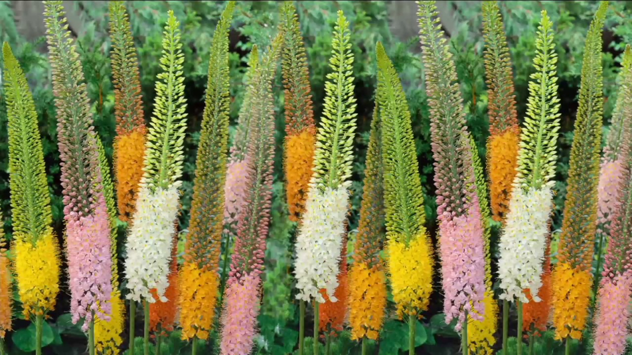 Robertas 3 Piece Majestic Foxtail Lilies On Qvc Youtube