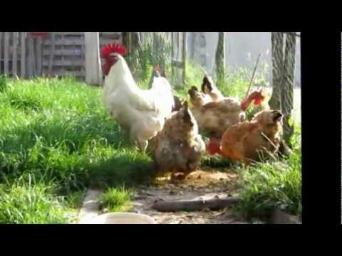 Le coq et ses poules youtube for Bien nourrir ses poules