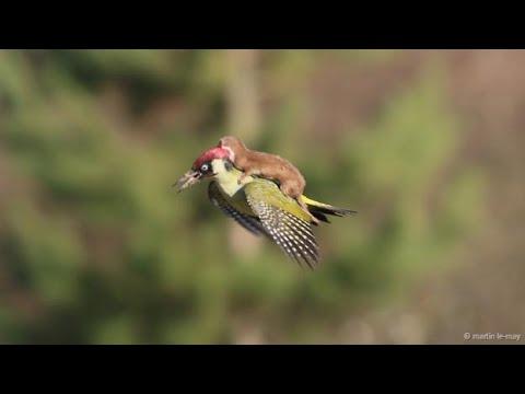P jaro carpintero contra serpiente doovi for Gato de carpintero