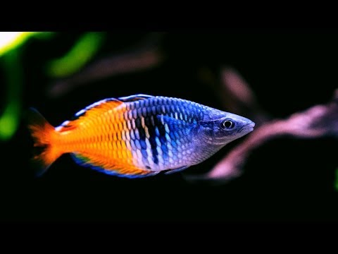 Boesemani Rainbowfish - Amazing Freshwater Aquarium Fish