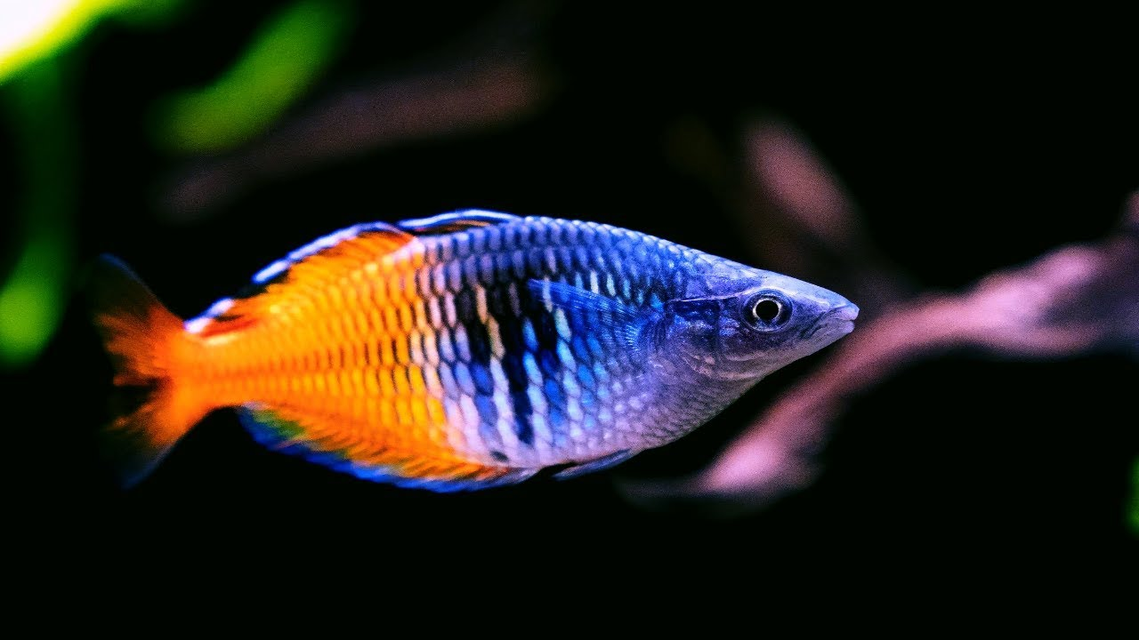 boesemani rainbowfish amazing freshwater aquarium fish youtube rh youtube com