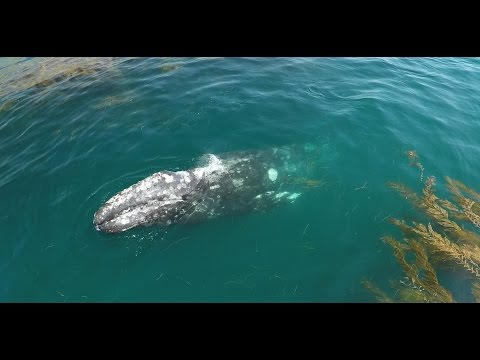 4k drone video of baby gray whale on migration in Laguna Beach
