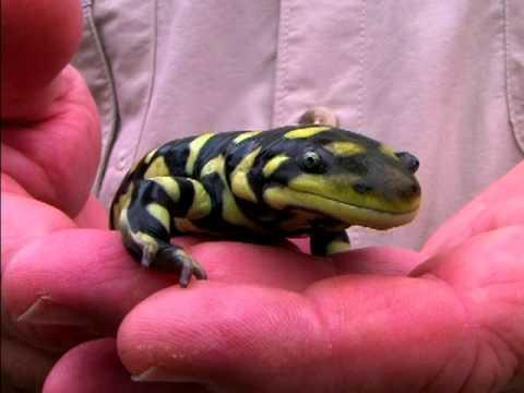 Amphibian - Salamander: Tiger Salamander