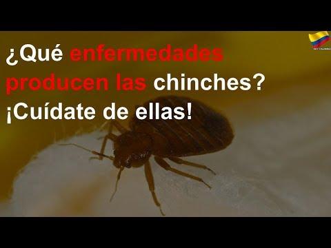 ¿Qué Enfermedades Producen Las Chinches?