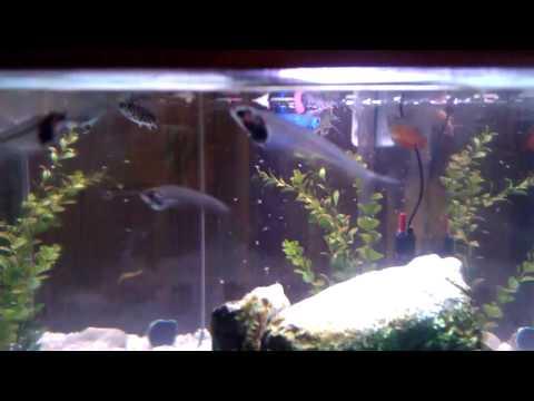 Video Glass catfish food