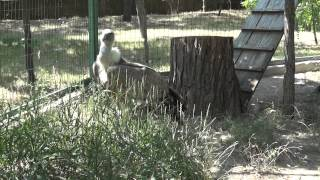 Griffon vulture / Gyps fulvus / Белоголовый сип video 0021