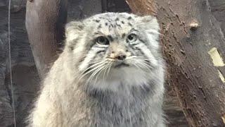 モッフモフ!最古のネコ マヌルネコのボルくん お誕生日サービスを使っ...