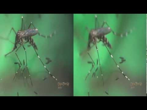 3D, Mosquito Pone Huevos