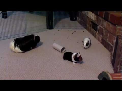 1 week old baby guinea pigs popcorning