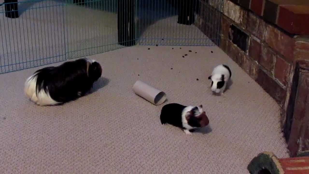 Week old baby guinea pigs popcorning youtube