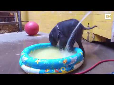 Cute video of baby elephant taking bath in child's paddling pool
