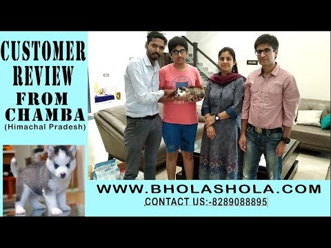 if-you-want-to-buy-a-dog-husky-please-contact-on8289088895-bhola-shola-puppy-delivery-also-available