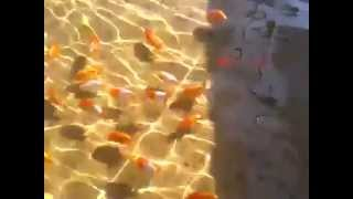 Goldfish Farm