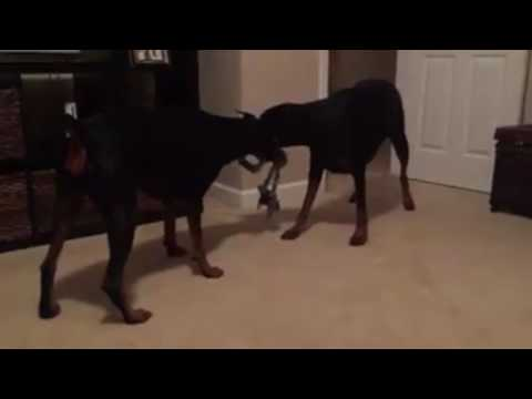 10 Random Dog Videos - The Life of a Doberman Pinscher