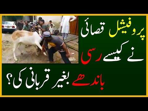 Professional Qasai 2017   Cow Qurbani With No Ropes Tied by Professional Qasai at Eid ul Adha 2017