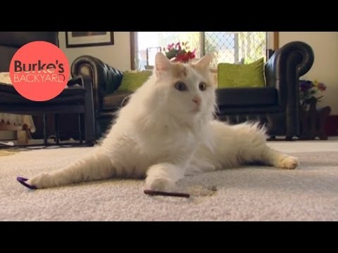 Burke's Backyard, Turkish Van Cat Road Test