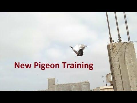Pigeon Kabootar Golden Pathe ko Uraya Training video in Urdu/Hindi.
