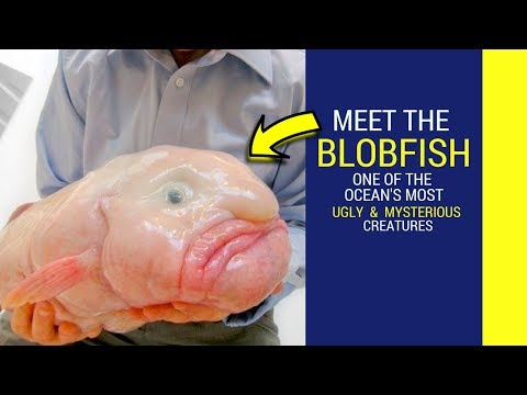 Blobfish Facts For Kids Blobfish Looks Like A Human