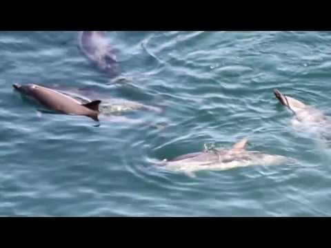 Taiji, Japan - Striped Dolphin Slaughter