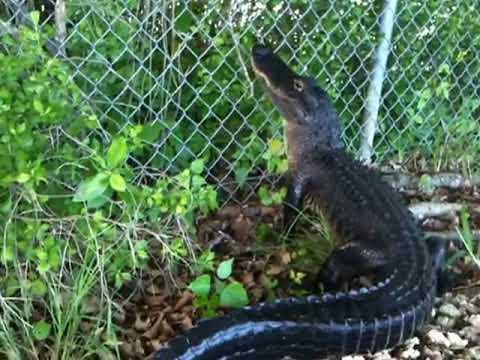 Ninja Gator! Alligator climbs fence.