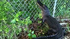 Ninja Gator! Alligator climbs fence.
