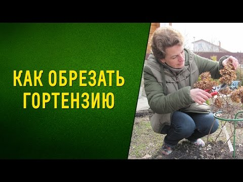 Как обрезать гортензию метельчатую весной видео