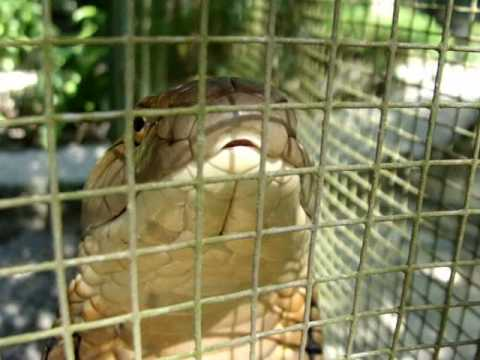 Mad King Cobra Breathing | Big Snake! 🇹🇭 Thailand Living